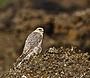 Fálki (Falco rusticolus) - Gyr Falcon.jpg