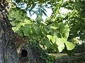 FFM-Roedelheim Ginkgo biloba 06.jpg