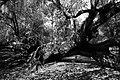 FL - OAK TREE - (2-24-13) KISSIMMEE LAKE SP, Osceola Co (11117394366).jpg