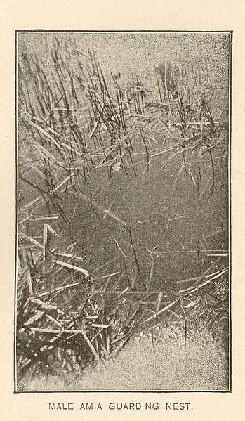 File:FMIB 41587 Male Amia Guarding Nest.jpeg
