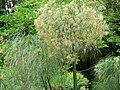 Fale - Giardini Botanici Hanbury in Ventimiglia - 397.jpg
