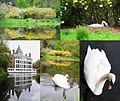 Family Swan at a colourful environment where they built their nest - panoramio.jpg