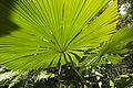 Fan palms at Wyvuri2 (11559918636).jpg