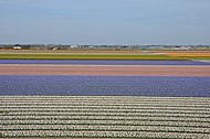 Farmlands outside Lisse, next to Keukenhof