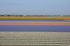 Farmlands outside Lisse, next to Keukenhof.jpg