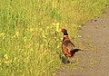 Fasan Common Pheasant (14473140934).jpg