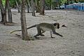 Fauna terrestre de Barbados 000.jpg