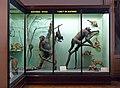 Faune du Mayumbe-Musée royal de l'Afrique centrale.jpg