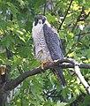 Female Peregrine Falcon, Missisquoi NWR (7160631835).jpg