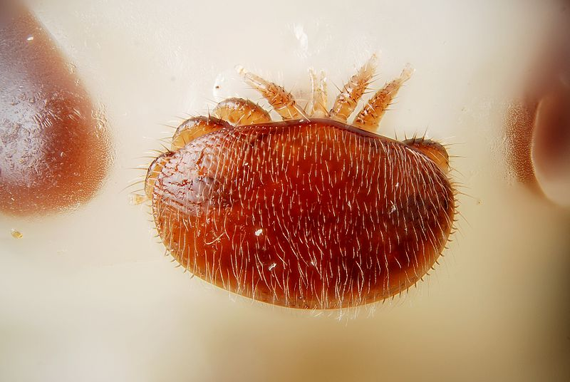 File:Female Varroa destructor on the head of a bee nymph (5048099307).jpg