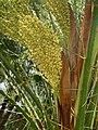 Female inflorescence of Phoenix roebelenii.jpg