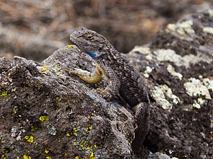 Sceloporus occidentalis bocourtii - Image: Fence Lizard 5519ed