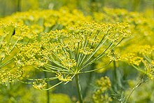 Fennel Plant Flower heads