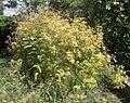 Fennel in the Bellevue Sobriety Garden (13418).jpg