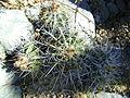 Ferocactus flavovirens (5753712267).jpg