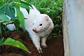Ferret (837995956).jpg