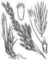 Festuca heterophylla illustration (01).png