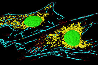 Fibroblast - Microfilaments (blue and red), mitochondria (yellow), and nuclei (green) in fibroblast cells.