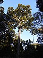 Ficus altissima DSCN1381.jpg