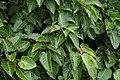 Ficus arnottiana 0725.jpg
