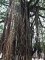 Ficus benghalensis @ Kodungallur India 03.jpg