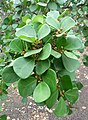 Ficus deltoidea kz1.JPG
