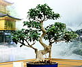 Ficus retusa bonsai.JPG