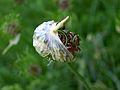 Field or Wild Garlic (Allium vineale) - Flickr - Jay Sturner (6).jpg