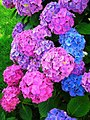 Figure 6 Hydrangea with different flower colours.jpg