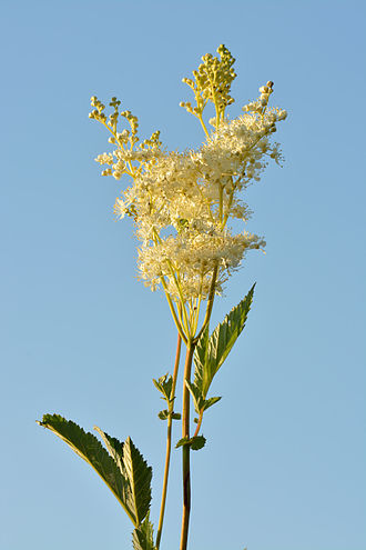 History of aspirin - Meadowsweet (Filipendula ulmaria). Tea made from its flowers are an old folk remedy against fever and pain.