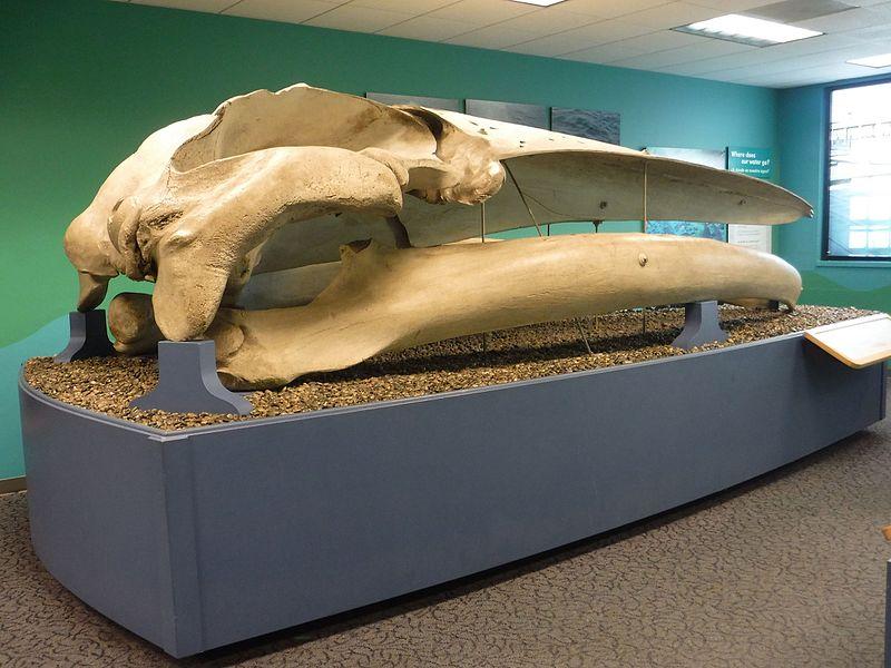 Finback Whale Skull San Diego Natural History Museum DSCF1854.jpg