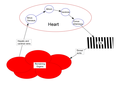 Cardiovascular cycle in a fish Fish heart schematic.png