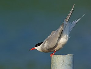 Fisktärna - Common Tern (8904909862).jpg