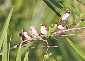 Five-coloured Munia (Lonchura quinticolor) (8074121105) (cropped).jpg