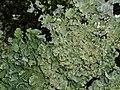Flavoparmelia caperata 108892505.jpg