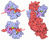 Flexibility of Calmodulin. Calmodulin can bind to calmodulin-dependent-protein kinase II-alpha (upper left, PDB code=1cm1); it can bind to myosine light chain (lower left, 2bbm); it can bind to edema factor toxin from the anthrax bacteria (right, 1k93) more details...