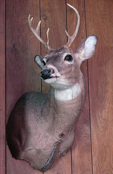 File:Flickr - Furryscaly - Deer Head.jpg