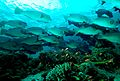 Flickr - JennyHuang - Bumphead Parrotfish-2.jpg