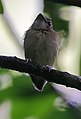 Flickr - Rainbirder - Stub-tailed Spadebill (Platyrinchus cancrominus).jpg