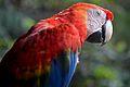 Flickr - ggallice - Scarlet macaw.jpg