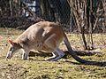 Flinkwallaby Macropus agilis Tierpark Hellabrunn-12.jpg