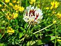 Flor silvestre en Calafate II.JPG