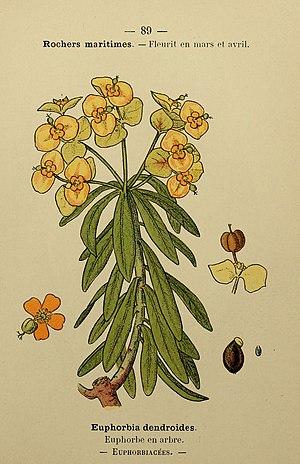 Euphorbia dendroides - Image: Flore coloriée de poche du littoral méditerranéen de Gênes à Barcelone y compris la Corse (6244468168)