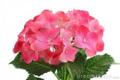 Flores de Hortensia.png