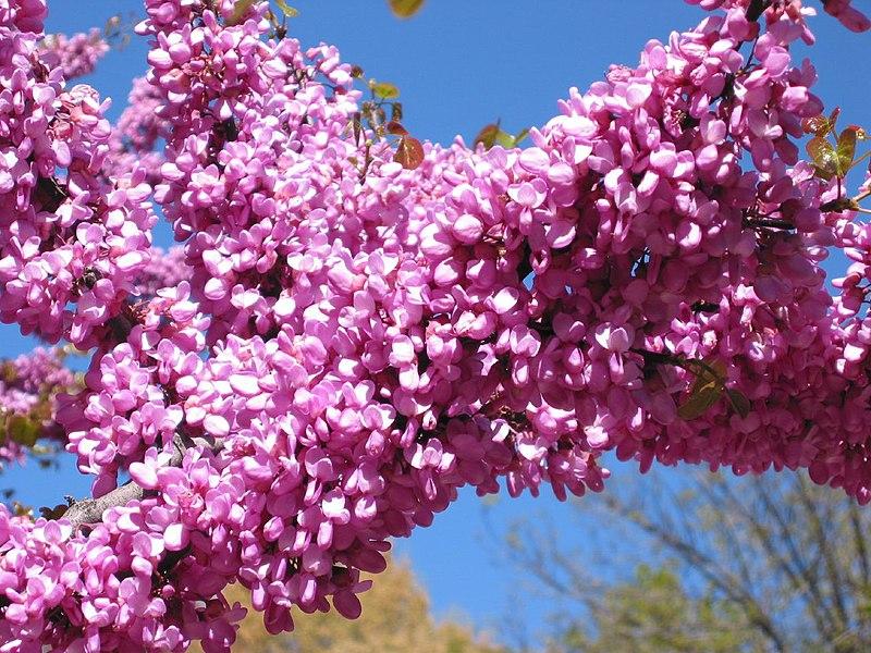 Rbol con flores rosas de hoja perenne que aguante el for Arboles de flores para jardin