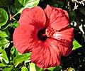 Flower. Libya.jpg