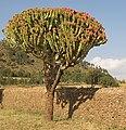 Flowering Tree Euphorbia, Axum, Ethiopia (3157623014).jpg