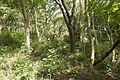 Forest in Mt.Hokyo 04.jpg