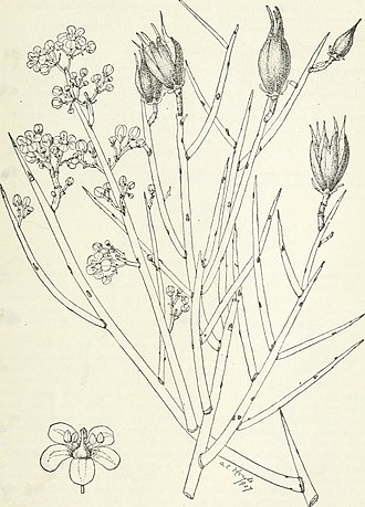Canotia - illustration from Forest Trees of the Pacific Slope