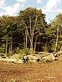 Foresting beech trees, Cockshoot Woods - geograph.org.uk - 229837.jpg
